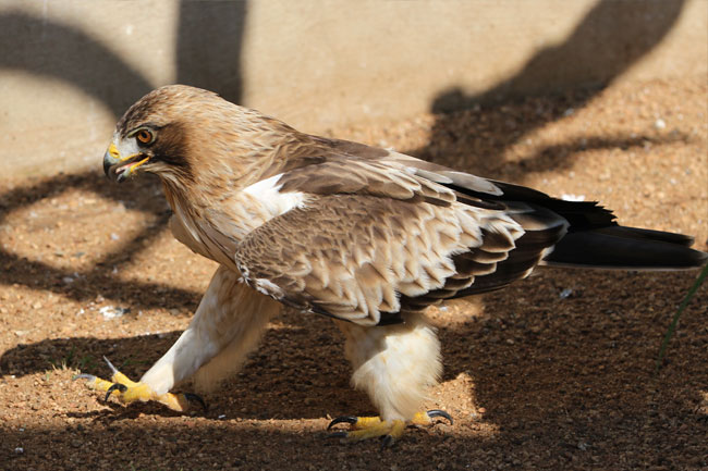 Booted Eagle | The African Bird of Prey Sanctuary